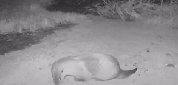 2e Otter in de Berkel bij Rekken